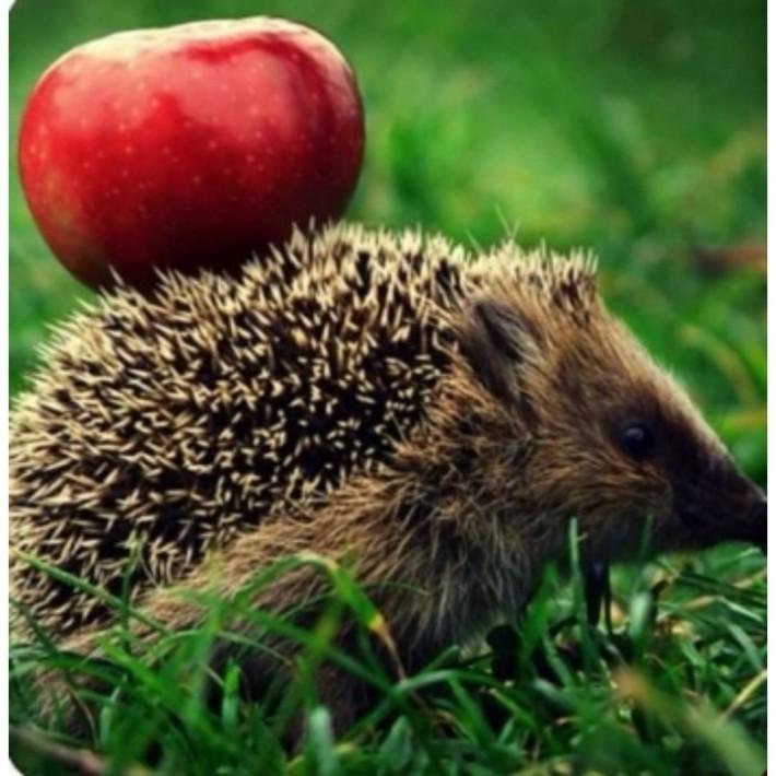 고슴도치 사과 .jpeg